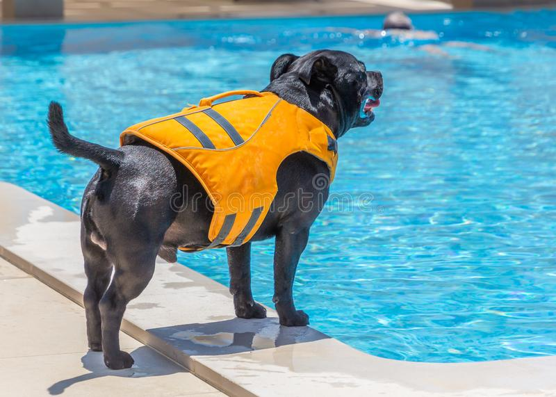 A Staffordshire Bull Terrier dog wearing an orange life jacket at the side of a swimming pool. A man can be seen swimming in the background stock photos