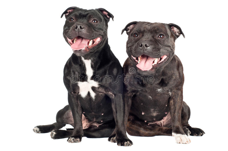 Two staffordshire bull terrier dogs. Staffordshire bull terrier dogs together stock photos