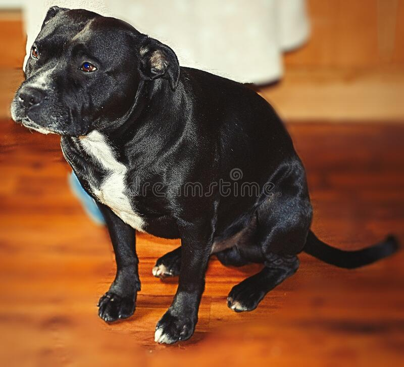 Staffordshire Bull Terrier Full Body Shot Up Close. Staffordshire Bull Terrier Full Body View Looking to The Left Blur Background stock images
