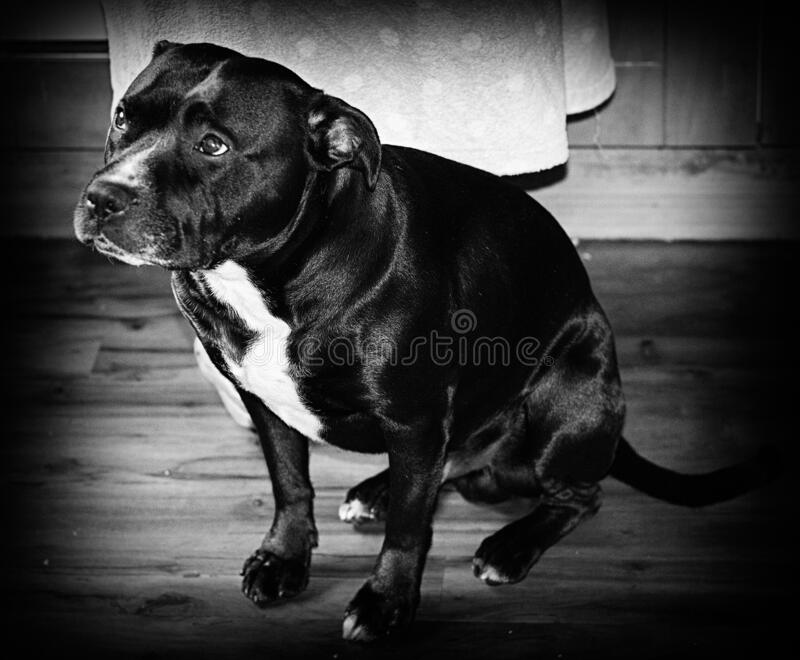 Staffordshire Bull Terrier Full Body Shot Up Close B&W. Staffordshire Bull Terrier Full Body View Looking to The Left Blur Background royalty free stock photos