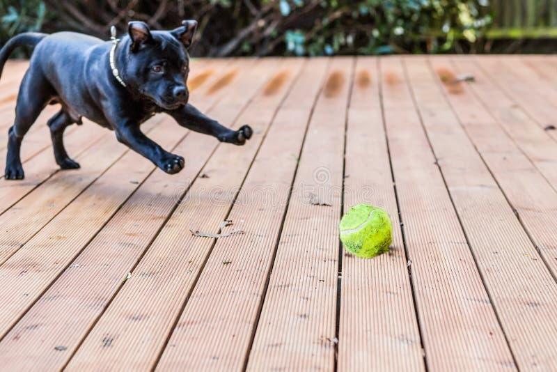 Staffordshire bull terrier hund som spelar med en boll royaltyfri fotografi