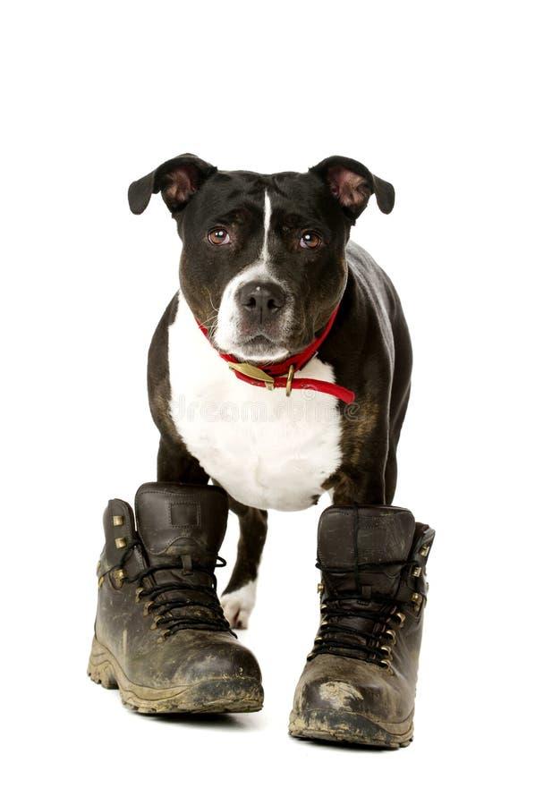 Staffordshire Bull Terrier jest ubranym chodzących buty zdjęcia royalty free