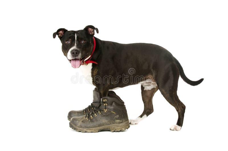 Staffordshire Bull Terrier jest ubranym chodzących buty zdjęcie royalty free