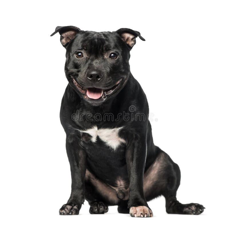 Staffordshire Bull Terrier (9 miesięcy starych) zdjęcia royalty free