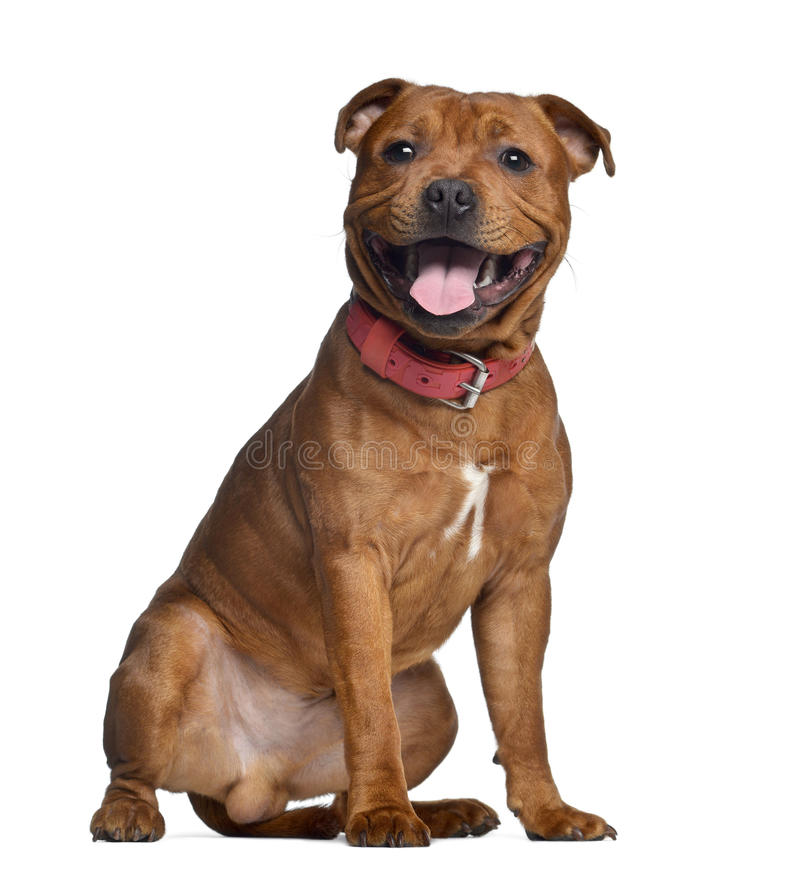 Staffordshire Bull Terrier, 9 miesięcy starych z czerwonym kołnierzem zdjęcie stock
