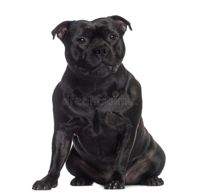 Staffordshire Bull Terrier obsiadanie (2 lat) fotografia royalty free
