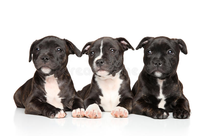 Staffordshire bull terrier puppies lying down royalty free stock photography