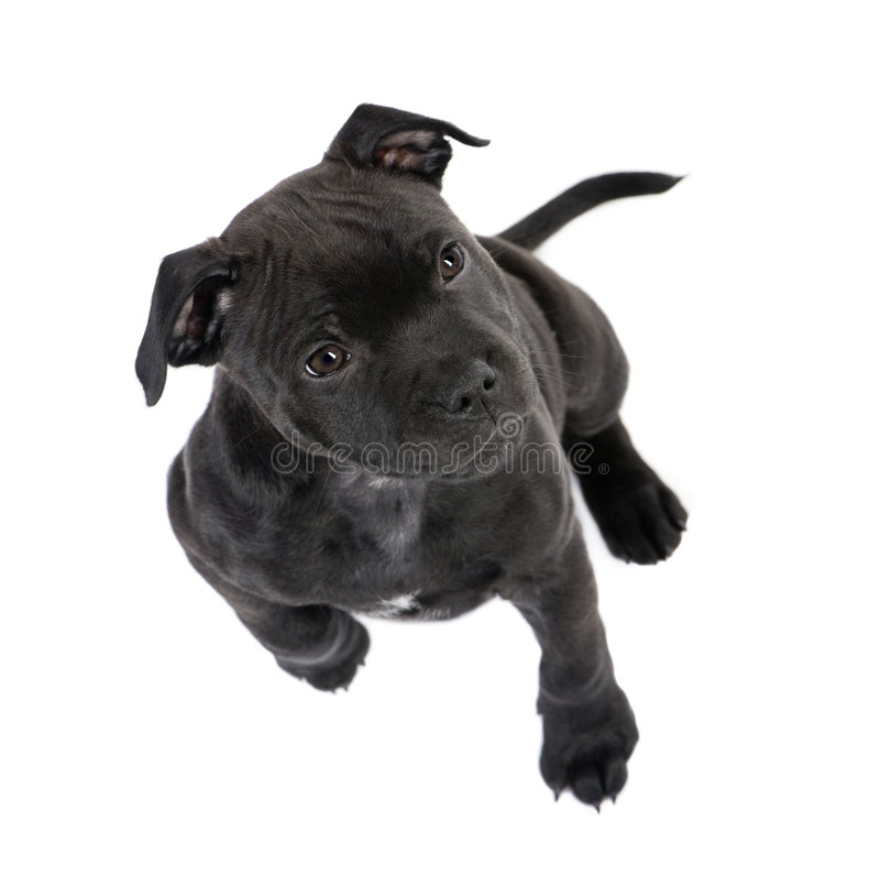 Download Staffordshire Bull Terrier Puppy (2 Months) Stock Images - Image: 7645064