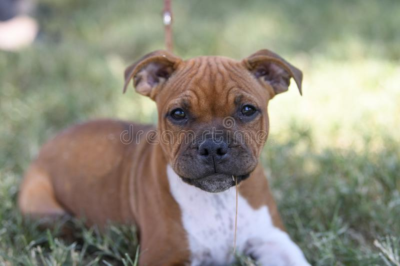 Staffordshire Bull Terrier Puppy lying in the grass stock photography