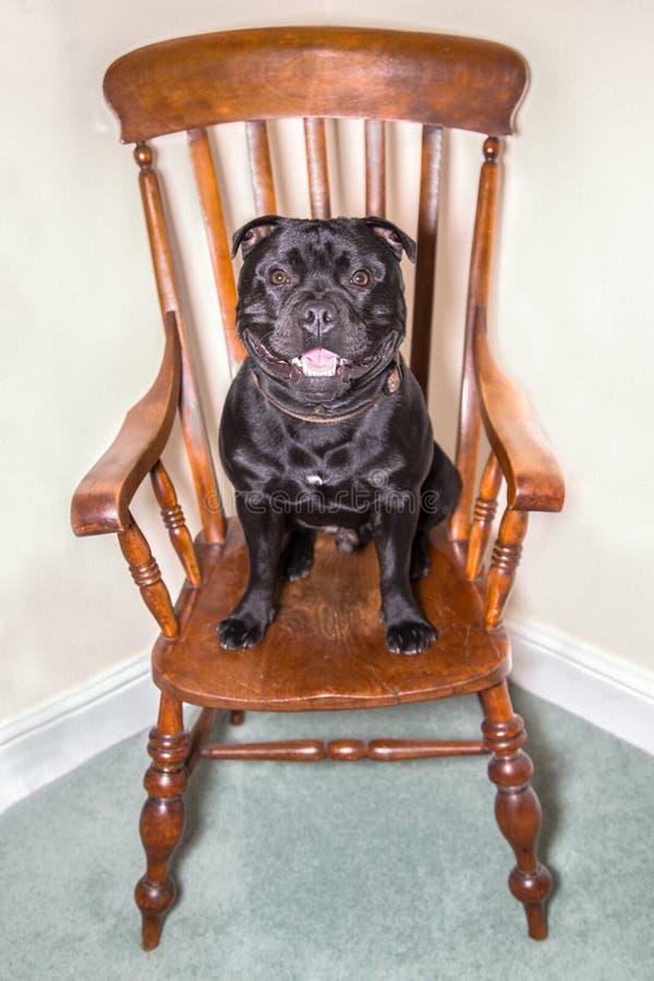 Staffordshire bull terrier que senta-se em uma cadeira fotografia de stock