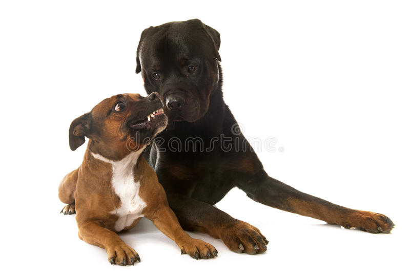 Staffordshire Bull Terrier And Rottweiler Stock Photo Image - Terrier and rottweiler