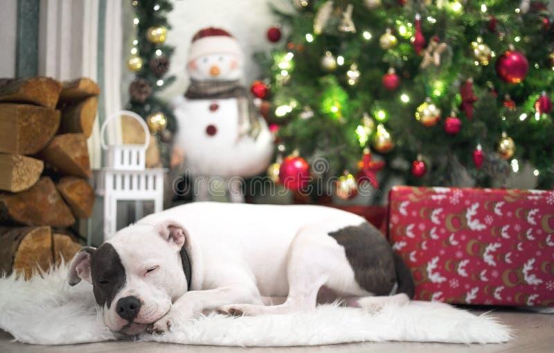 Staffordshire bull terrier som sover under julträd arkivbilder