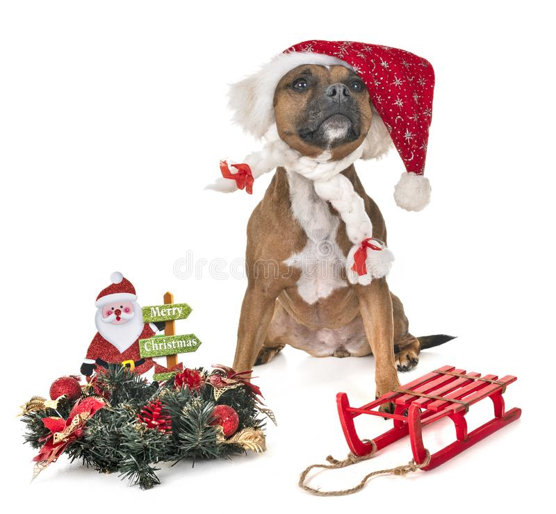 Staffordshire bull terrier stock photography