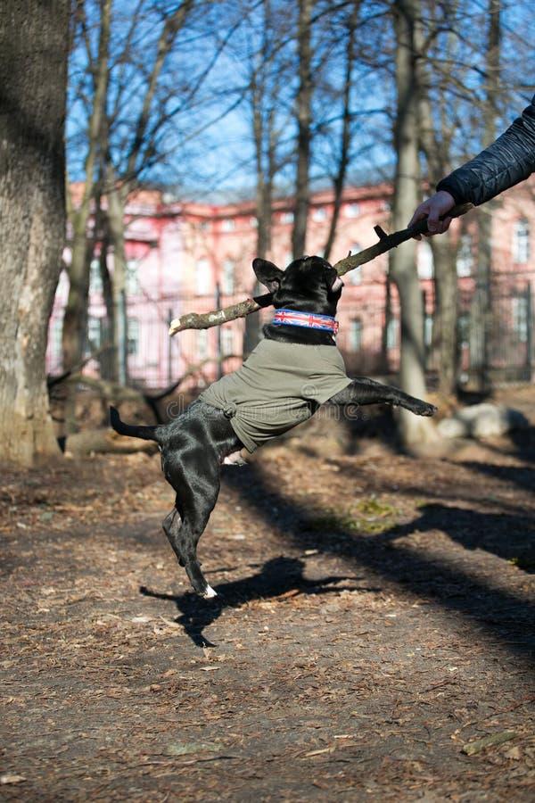 Staffordshire Bull Terrier szczeniak bawi? si? w parku zdjęcia royalty free