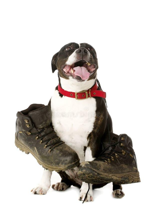 Staffordshire Bull Terrier z chodzącymi butami zdjęcie royalty free