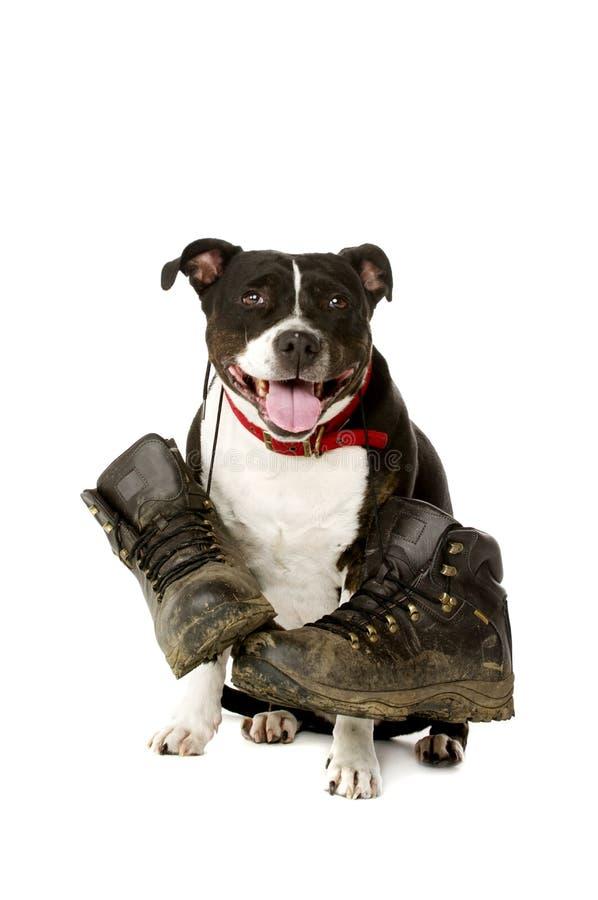 Staffordshire Bull Terrier z chodzącymi butami obraz royalty free