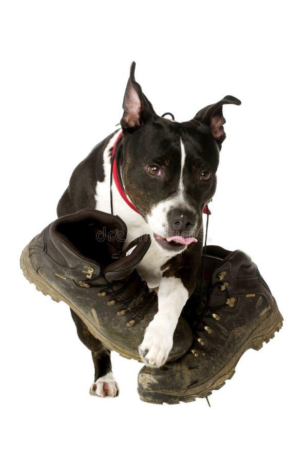 Staffordshire Bull Terrier z chodzącymi butami fotografia royalty free