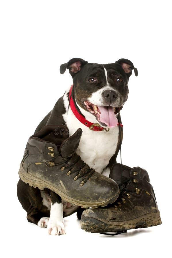 Staffordshire Bull Terrier z chodzącymi butami obrazy royalty free