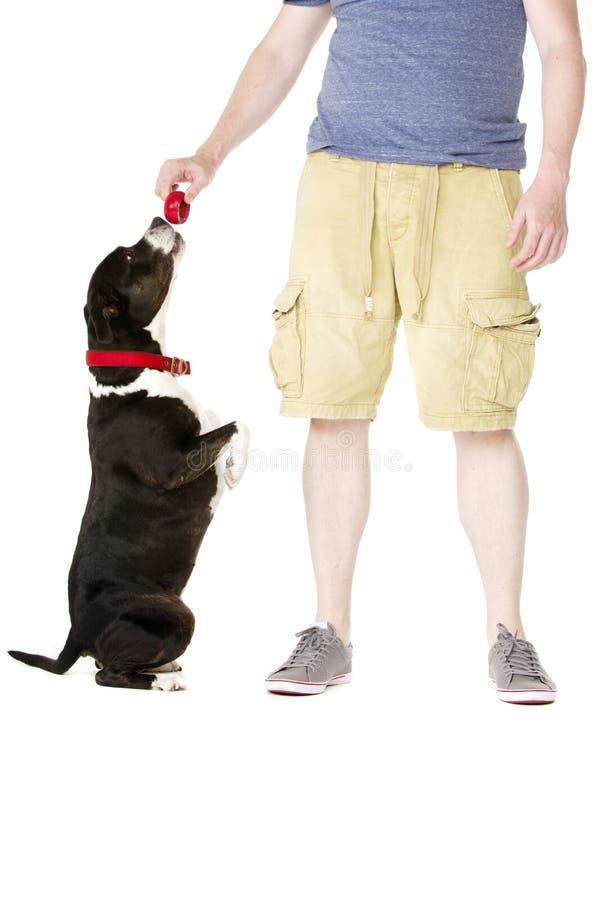 Staffordshire Bull Terrier z właściciela właścicielem zdjęcie royalty free