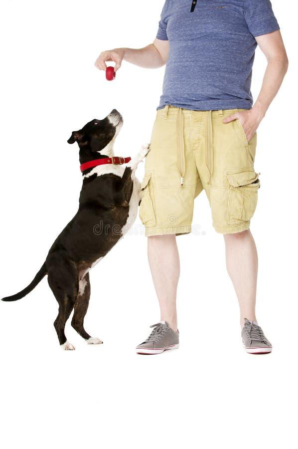 Staffordshire Bull Terrier z właścicielem zdjęcie royalty free