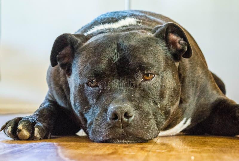 Staffordshire Terrier fotografia stock