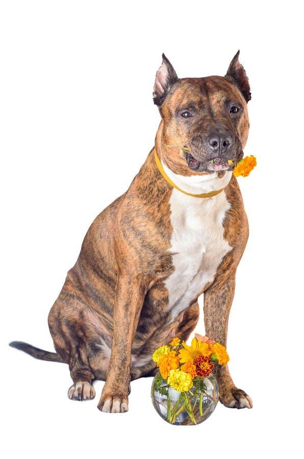 Staffordshire Terrier americano con una rosa nella bocca prima di fondo bianco Cane con il fiore immagine stock libera da diritti