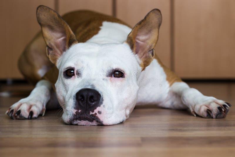 Staffordshire Terrier americano lindo que descansa en casa foto de archivo libre de regalías
