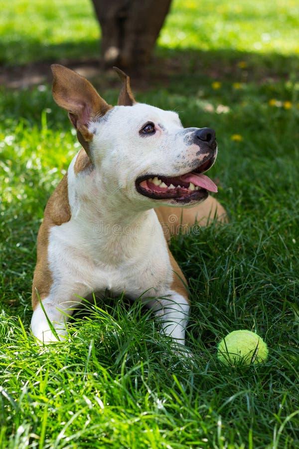 Staffordshire Terrier americano lindo que juega con una bola imagen de archivo