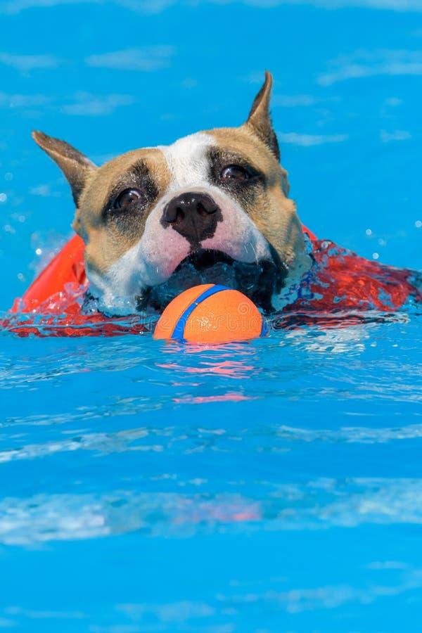 Staffordshire Terrier americano nello stagno con un giocattolo fotografia stock