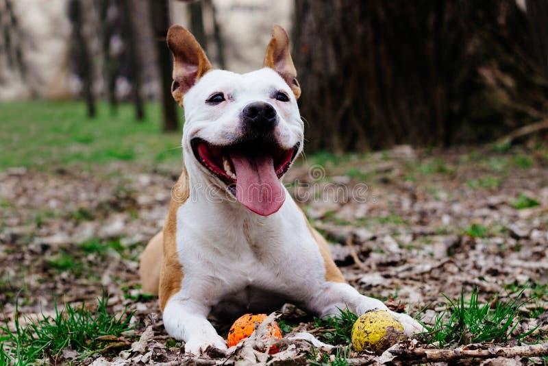 Staffordshire Terrier americano que juega con una bola fotografía de archivo libre de regalías