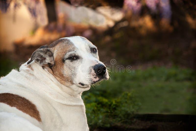 Staffordshire Terrier americano superior que senta-se na grama que olha para trás imagem de stock