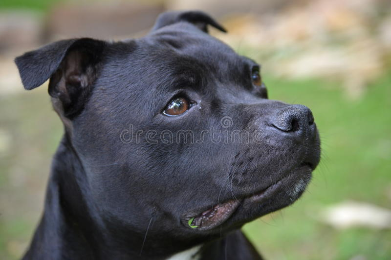 Staffordshire terrier stock photo
