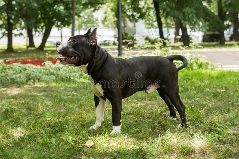 Staffordshire Terrier dla spaceru zdjęcie royalty free