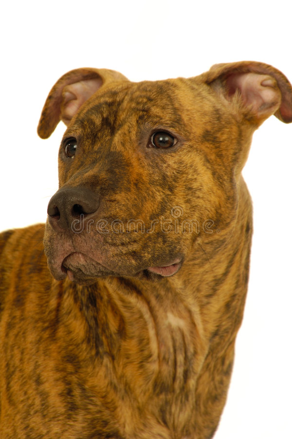 Staffordshire terrier dog stock photos