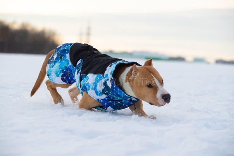 Staffordshire Terrier, Pit Bull hund som går i bygden på ett snöig fält royaltyfri fotografi