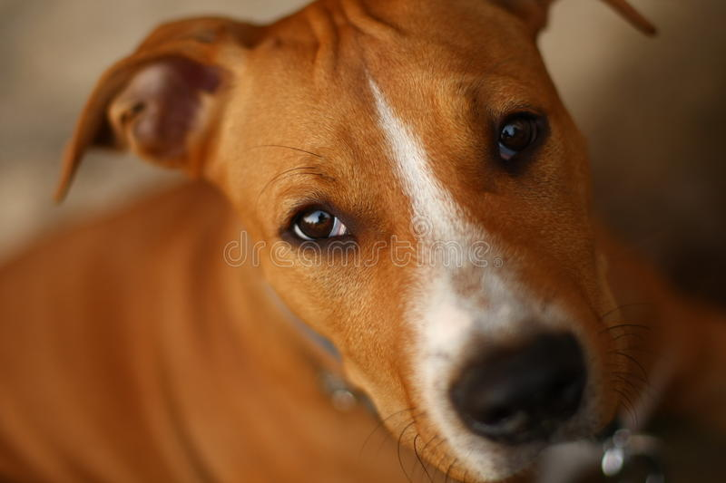 Staffordshire terrier royalty free stock photography