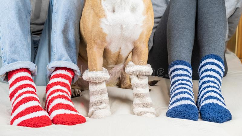 Staffordshire terrier and two people sitting on the bed wearing similar striped socks. royalty free stock images