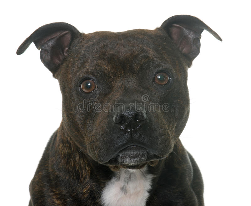 Stafforshire bull terrier immagini stock