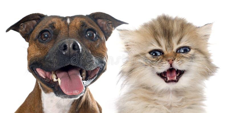 Stafforshire bull terrier e gattino persiano immagini stock