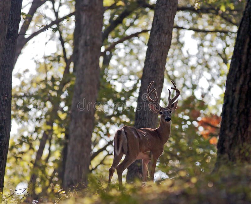 Download Stag stock photo. Image of deer, antlers, stag, horns - 27557652