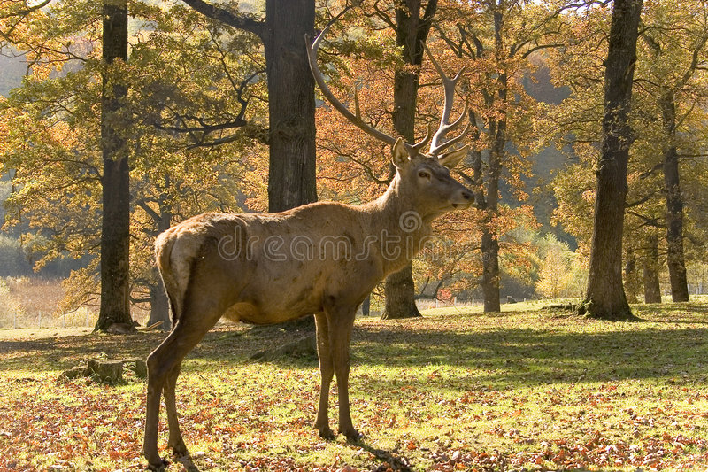 The stag stock images