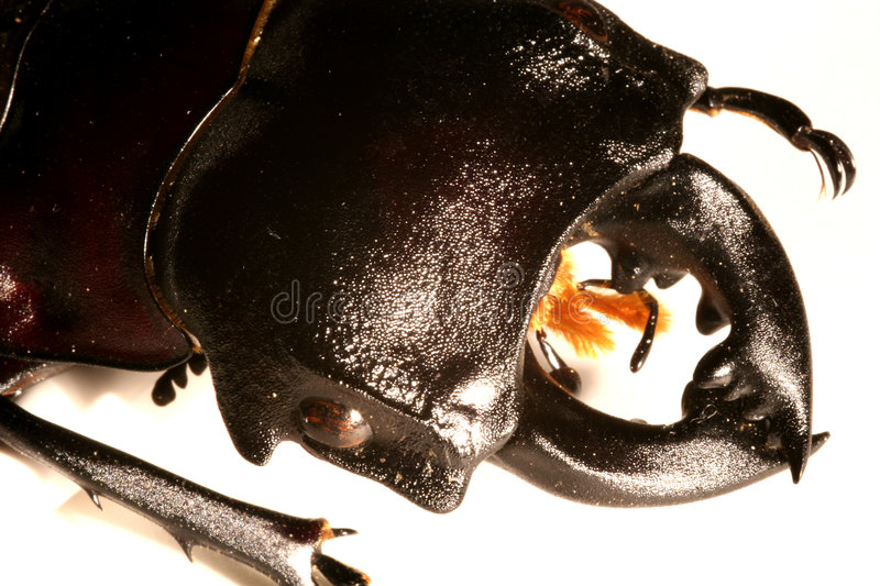 Download Stag-beetle stock photo. Image of macro, limbata, beetle - 113720