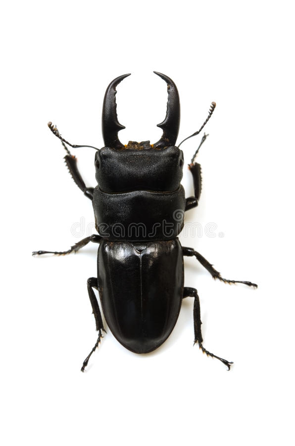 Download Stag beetle stock image. Image of white, wildlife, hexapod - 26476605
