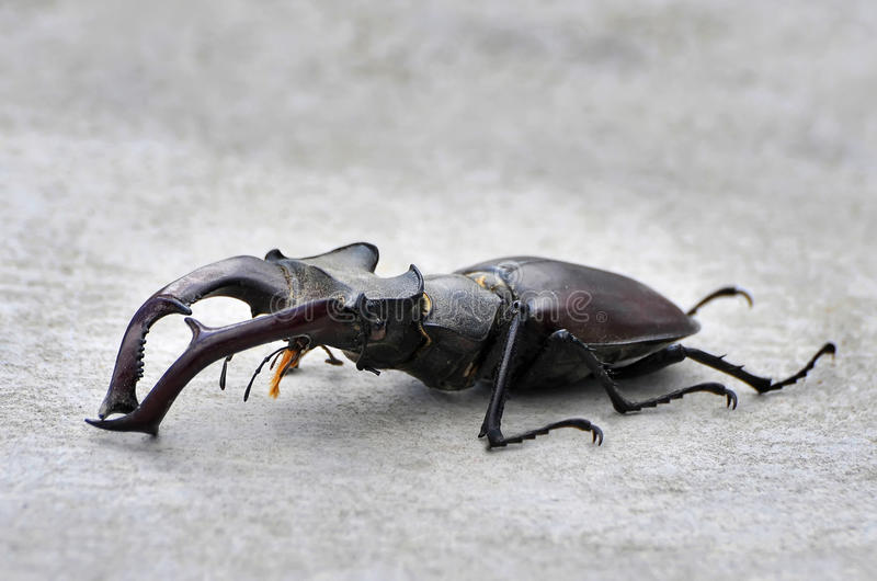 Download Stag Beetle stock photo. Image of beetle, species, lucanus - 26486676