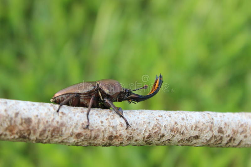 Stag beetle on branch royalty free stock photography