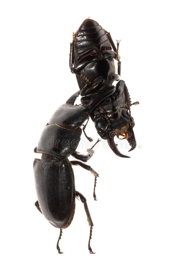 Download Stag beetle fighting stock photo. Image of invertebrate - 16700126