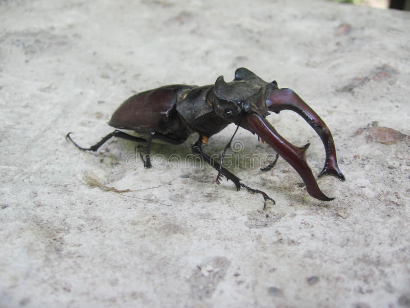 Stag-beetle, a fine specimen on a gray background stock photo