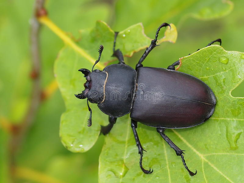 Download Stag Beetle Male, Dorcus Parallelipipedus Stock Photo - Image: 20537300