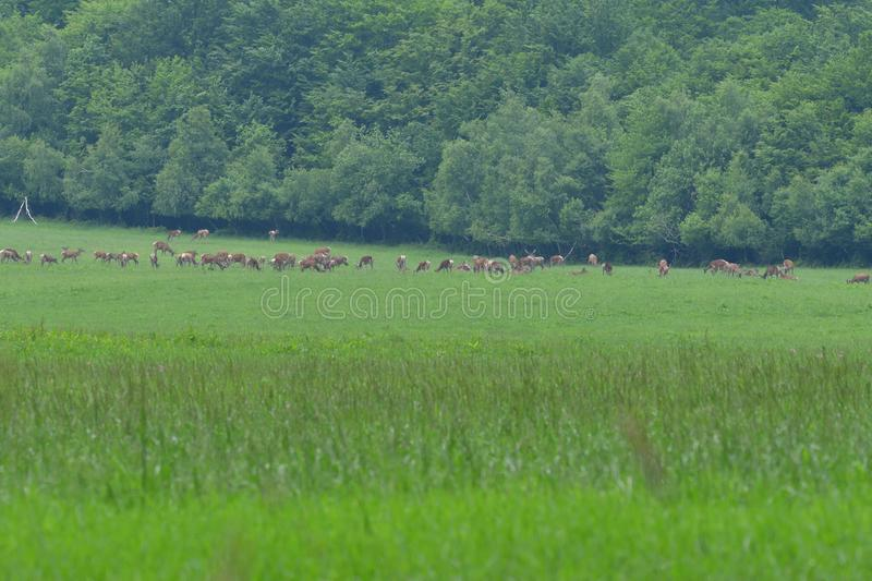 Flock of Deer stag  with growing antler grazing the grass royalty free stock photos