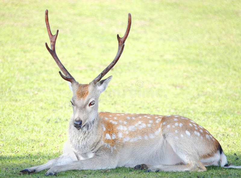Stag deer. Young white tailed stag deer resting stock image